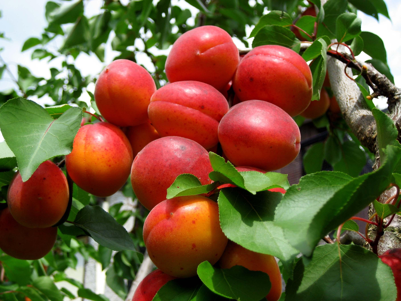 Gyümölcstermő növények