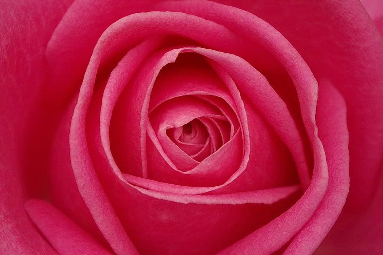 Rózsák gondozása