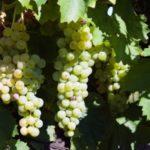 szőlő fehér