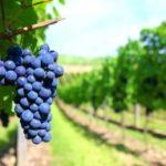 szőlő kék
