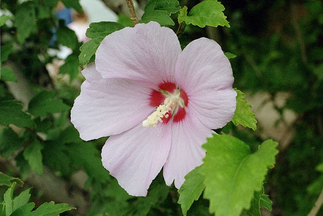 Hibiszkusz-hibiscus-syriacus