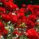 Rózsa-tippek