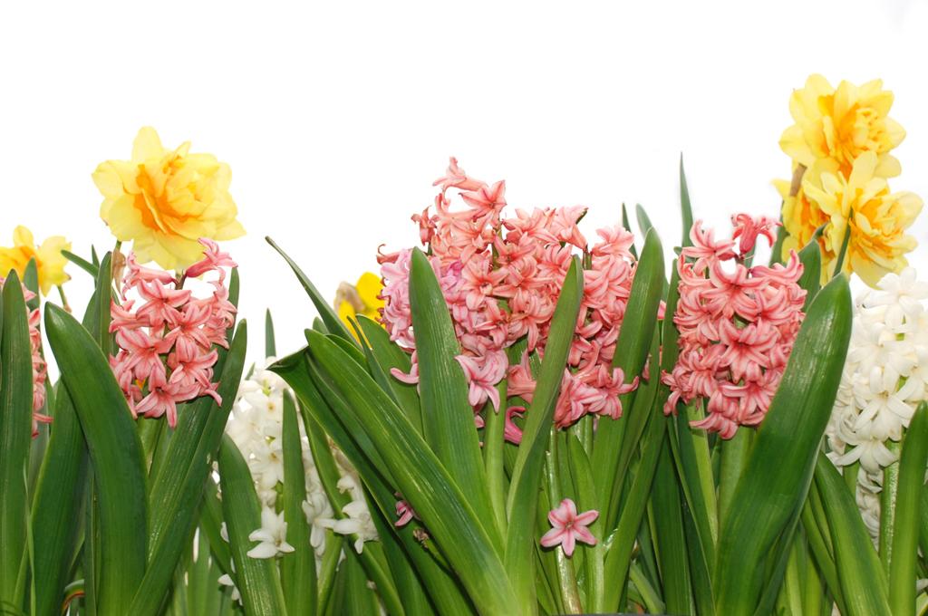 Tavaszi virágkarnevál az ablakban