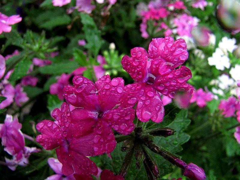 Mágikus kerti díszünk, a verbéna