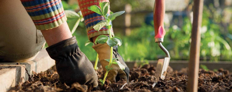 Gyümölcsfa ültetés lépései