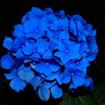 hydrangea-419061_960_720