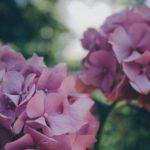 hydrangea-871682_960_720