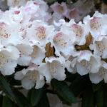 Rhododendron_wardii_var_puralbum