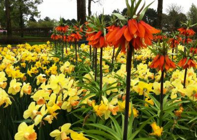 Frittillaria_Narcisz