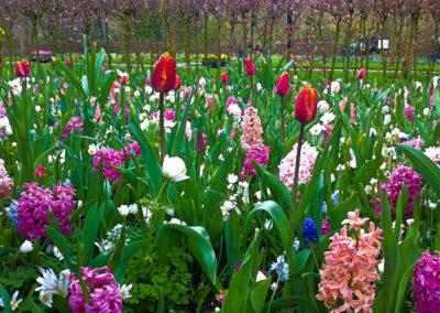 Jacint-tulipa rozsaszin mix