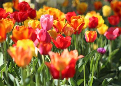 tulipan_ultetes4