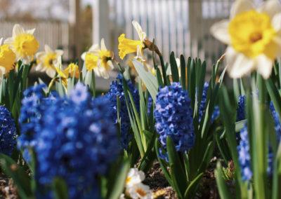 tulipan_ultetes5_