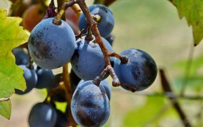 Most ültessünk szőlőt