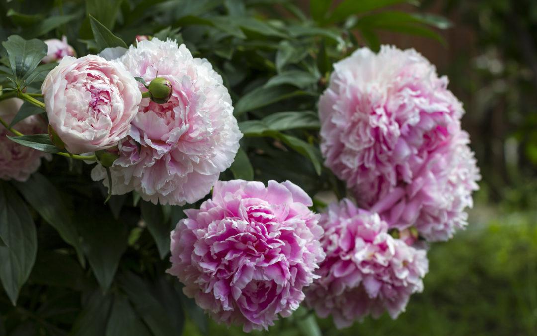 """A pünkösdi rózsa, """"az ünnepi virágok hercegője"""""""