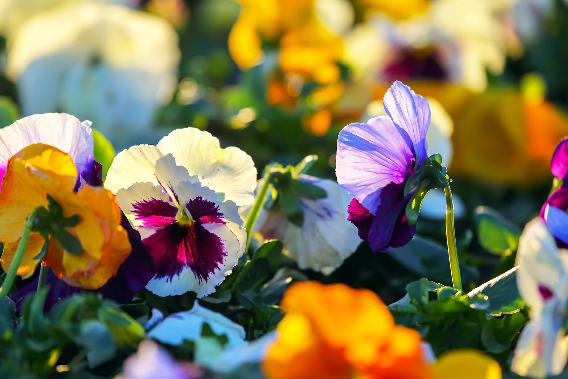 Angol romantika a kertben: az árvácska
